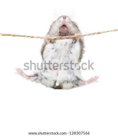 Little dwarf hamsters on a rope. Studio white background