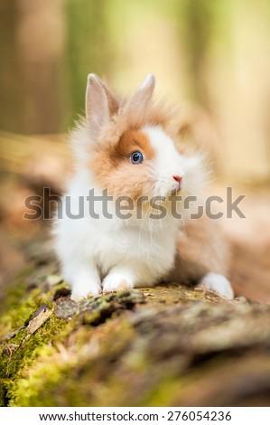 Little dwarf rabbit  - stock photo