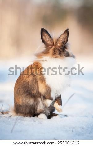 Little dwarf rabbit looking back in winter - stock photo