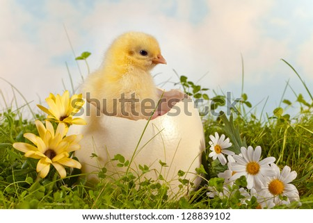 Chicks Hatching From Eggs