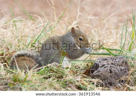 Little eastern gray squirrel foraging in tall grass. - stock photo