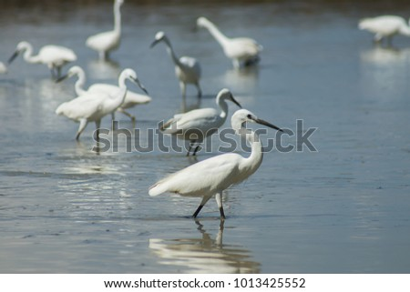 Little Egret bird in the lake. (Egretta garzetta)