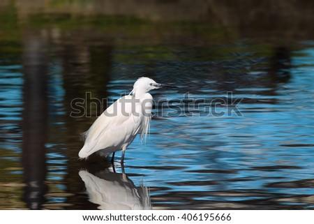 Little Egret (Egretta garzetta) from the bird family Ardeidae, wading in a shallow lake in north Cornwall - stock photo