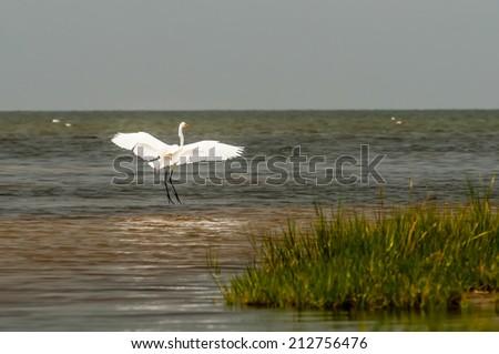 Little Egret Egretta garzetta small white heron at obx - stock photo