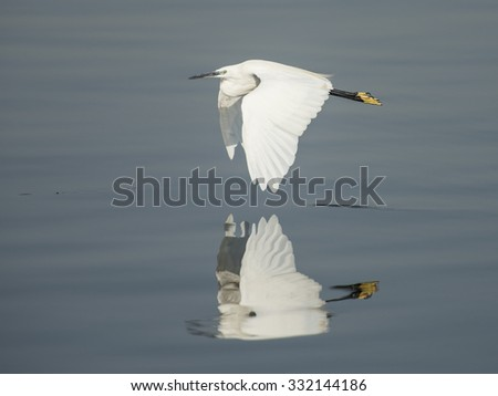Little egret wild bird in flight over water with reflection - stock photo