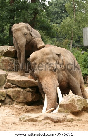 Little elephant trying to climb on his dad - stock photo
