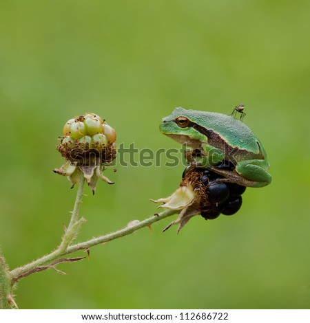 Little European treefrog carrying a mosquito - stock photo
