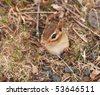 little female chipmunk coming out of her burrow - stock photo