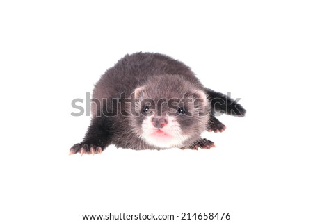 Little ferret baby isolated in white background - stock photo