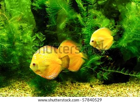 Little fishes in aquarium - stock photo