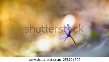 Little flowers,hepatica in the forest - stock photo