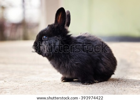 Little fluffy black bunny standing in front of the camera - stock photo