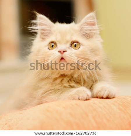 little fluffy Persian kitten lying and resting on the pillow - stock photo
