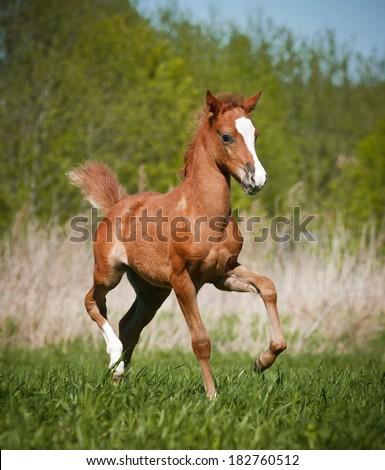 little foal - stock photo