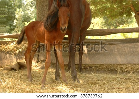 little foal with mama at the stall - stock photo
