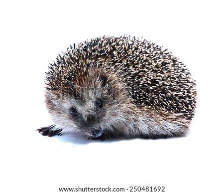 Little forest hedgehog isolated on white background - stock photo
