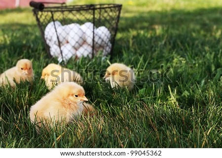 Little free range Buff Orpington chicks outdoors by a basket filled with fresh organic eggs. Extreme shallow depth of field with selective focus on chick in foreground. - stock photo