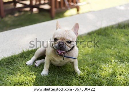 Little French bulldog in grass field