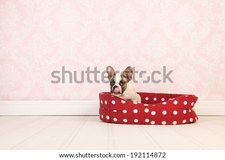 Little French bulldog puppy with it's tongue out  in red basket in room with vintage wallpaper - stock photo