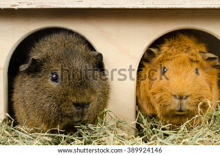 little friends...rex and short haired peruvian guinea pig - stock photo