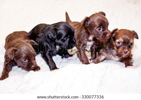 Little funny black and brown Chinese puppy dogs sitting on the bed