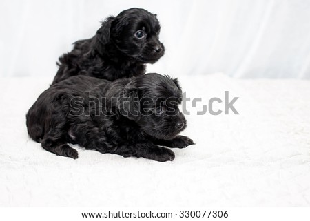Little funny black Chinese puppy dogs sitting on the bed - stock photo