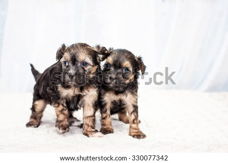 Little funny brown color Chinese puppy dogs sitting on the bed - stock photo