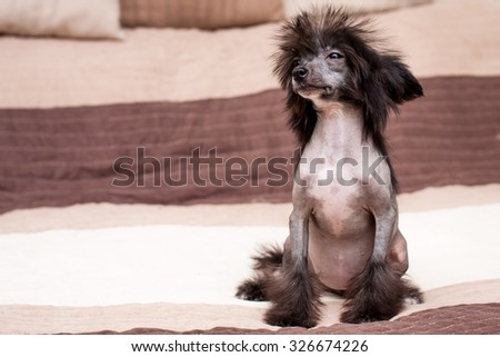 Little funny Chinese Crested dog sitting on the bed - stock photo