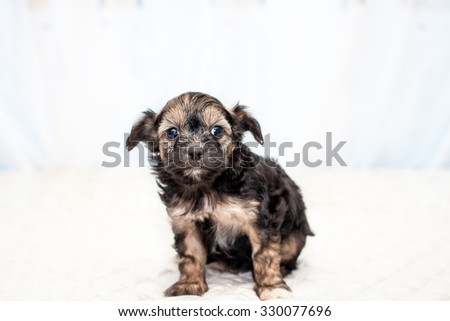 Little funny Chinese puppy dog sitting on the bed - stock photo