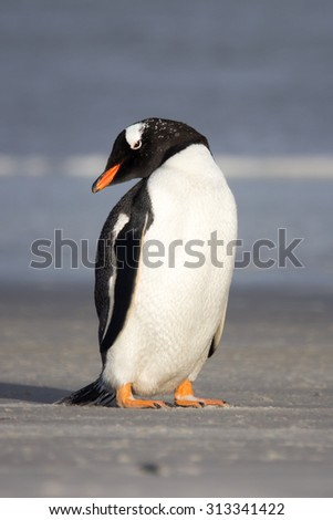 Little Gentoo penguin on the shore. Falkland Islands. Vertical Portrait