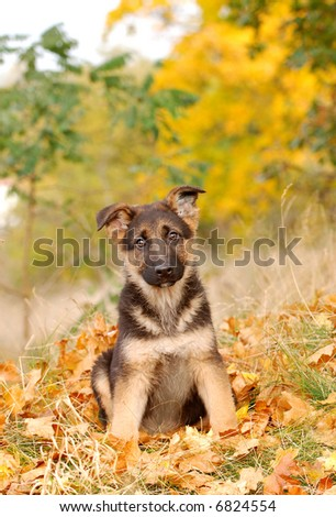 Little German Shephard dog puppy - stock photo