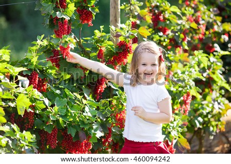 Little girl picking fresh ripe berry from red currant bush in sunny summer garden. Healthy nutrition for kids. Bio fruit for children. - stock photo