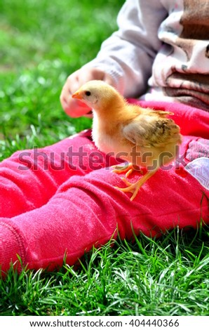 Little girl pointing a small chicken on her leg - stock photo