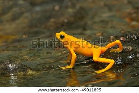 Little Golden Frog - stock photo