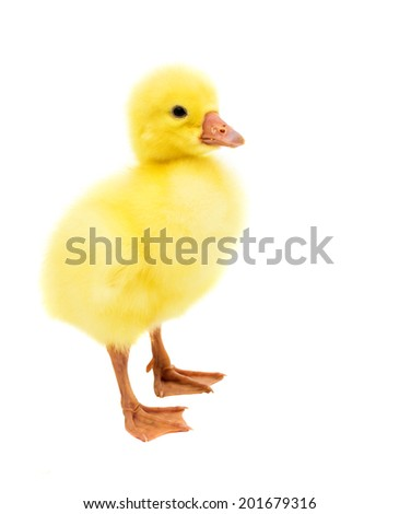 little gosling isolated on a white background - stock photo