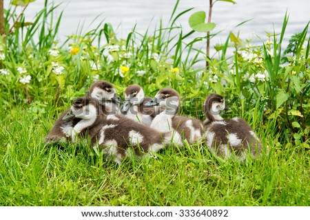 Little gosling resting on the green grass near the river - stock photo
