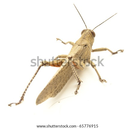 little grasshopper isolated on a white background