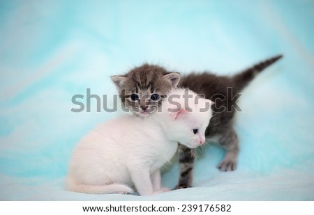Little gray and white kittens
