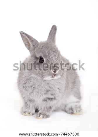 Little gray baby bunny, rabbit - stock photo