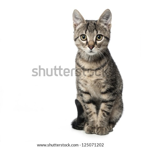 Little gray kitten isolated on white background. - stock photo