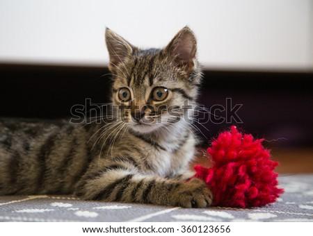 Little gray kitten portrait.  - stock photo