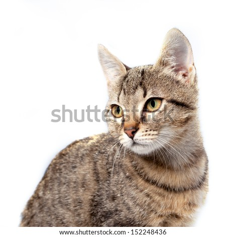 Little gray kitten portrait up isolated on white background. - stock photo