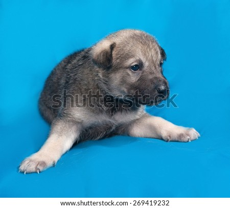 Little gray puppy lying on blue background