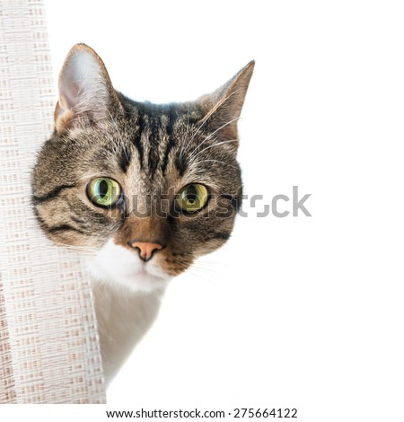 Little gray striped and curiously looking cat isolated on white background - stock photo