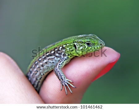 Little green lizard on a finger taken closeup on a green background.