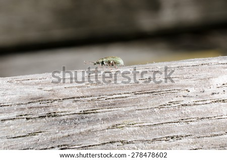 little green weevil - stock photo