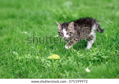 Little grey kitten hunting in the green grass