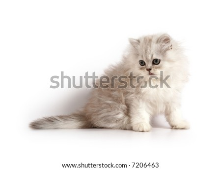 little grey-white persian kitten - stock photo