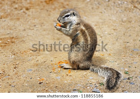 Little Ground Squirrel (Xerus Inaurus) Eats Carrot