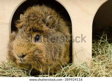 little guinea at home (looks left) - stock photo
